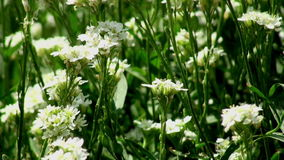 White wild flowers stock video footage