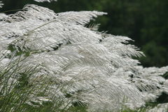 White wild grass in the wind Stock Image