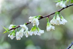 White Wild Himalayan Cherry Blossom flower Royalty Free Stock Photo