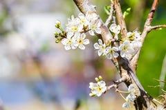 White wild Himalayan Cherry flower Stock Photo