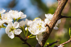 White Wild Himalayan cherry flowers Stock Images