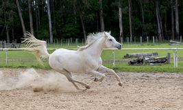 White wild Horse Stock Photos