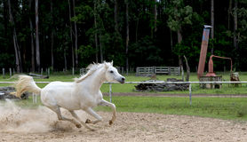 White wild Horse Stock Image