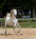 White wild Horse Royalty Free Stock Photography