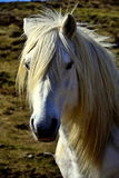 White wild horse. Beautiful white horse met while walking in Scottish Highlands Stock Images