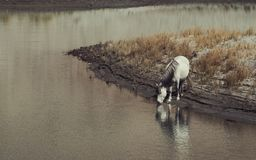 A white wild horse drinking and standing by the river alone with reflection Royalty Free Stock Photography