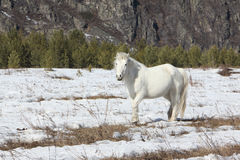 White wild horse is grazed on a snow glade among mountains Stock Photo