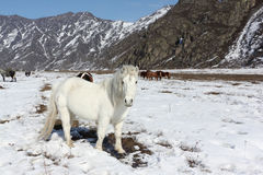 White wild horse is grazed on a snow glade among mountains Stock Image