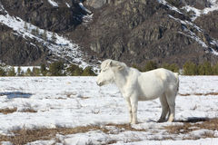 White wild horse is grazed on a snow glade among mountains Royalty Free Stock Photos