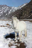 White wild horse is grazed on a snow glade among mountains Royalty Free Stock Images