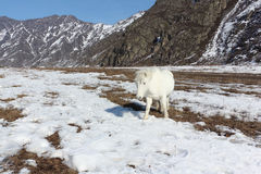 White wild horse is grazed on a snow glade among mountains Royalty Free Stock Photo