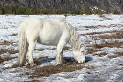 White wild horse is grazed on a snow glade among mountains Stock Photography