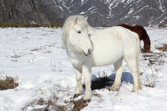 White wild horse is grazed on a snow glade among mountains Royalty Free Stock Image
