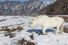 White wild horse is grazed on a snow glade among mountains. In the early spring, Altai, Russia Stock Photos