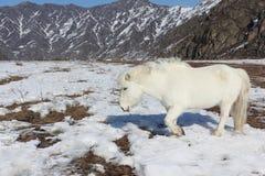 White wild horse is grazed on a snow glade among mountains Stock Photos