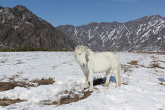 White wild horse is grazed on a snow glade among mountains Stock Images