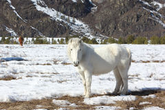White wild horse is grazed on a snow glade among mountains in th Royalty Free Stock Photo