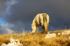 White wild horse grazing grass. On mountain, cloudy skies in the background Stock Photography