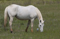 A white wild horse on green grass background Stock Image
