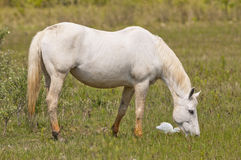 A white wild horse on green grass Royalty Free Stock Photos