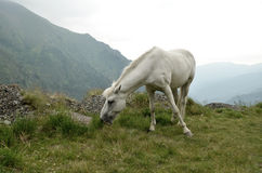 White wild horse in high mountains Stock Photography