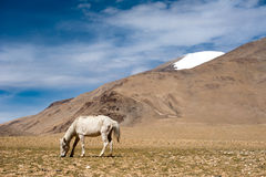 White wild horse at Himalaya mountains. India Royalty Free Stock Images