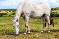 White wild horse on meadow idyllic field Stock Photography