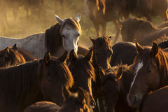 White wild horse between others horses in the sunset Royalty Free Stock Photos
