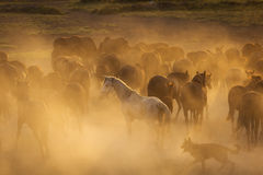 White wild horse between others horses in the sunset Stock Photo