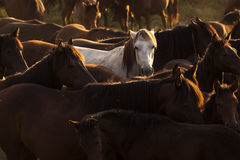 White wild horse between others horses in the sunset Royalty Free Stock Photo