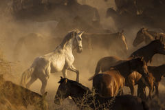 White wild horse between others horses in the sunset Stock Image