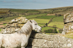 White wild horse overlooking countryside and farmlands Royalty Free Stock Images