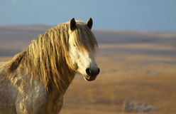White wild horse portrait Royalty Free Stock Photo
