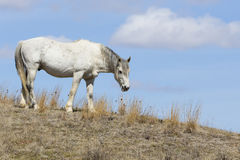 White Wild Horse in Roosevelt National Park royalty free stock photo