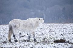 Wild horse standing in snow covered winter landscape Stock Photography