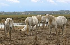 White wild horses. Group of wild horses in a nature reserve in Spain Stock Photo