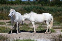 White wild horses of Camargue, France stock photo