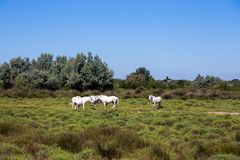 White wild horses of Camargue, France stock images