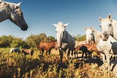 White wild horses and colt in nature reserve in Parc Regional de Camargue. Provence, France Royalty Free Stock Photo