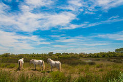 White wild horses in nature royalty free stock photo