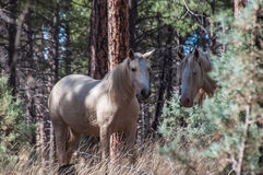White wild horses Royalty Free Stock Image