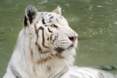 White Wild indian tiger portrait Royalty Free Stock Photos