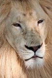 White wild lion Royalty Free Stock Photos
