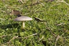 White wild mushroom in the grass stock photography
