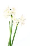White wild narcissus on white Royalty Free Stock Photos