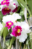 White of wild orchids. Royalty Free Stock Photos