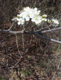 White wild pear blossom. Branch with white flower blooms royalty free stock photo
