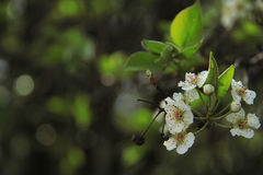 White wild pear blossoms Royalty Free Stock Photography