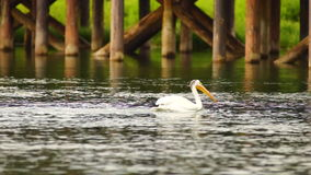 White Wild Pelican Bird Yellowstone River Animal Wildlife stock video footage