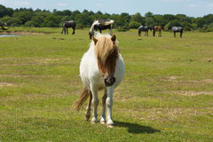 White wild pony with brown face The New Forest Hampshire England UK Stock Photography